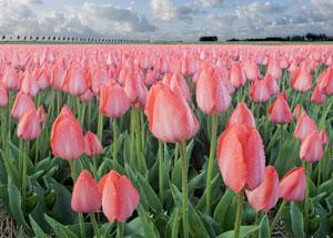 rozā tulpes